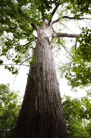 Mckinney Falls State Park 500 year old Cyprus tree