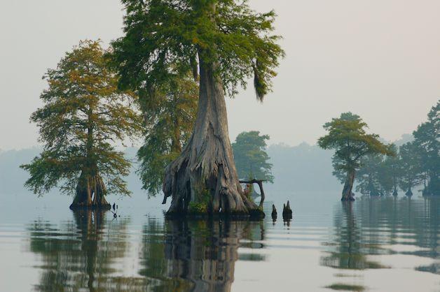 cypress trees in Lake Drummond, Great Dismal Swamp National Wildlife Refuge, Virginia