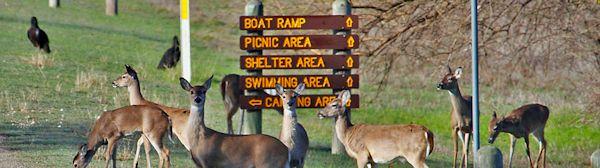 Deer at Lake Whitney State Park