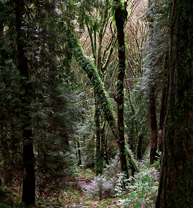 Native second-growth forest along the Orchard Trail at Saint Edward State Park, Kenmore, Washington