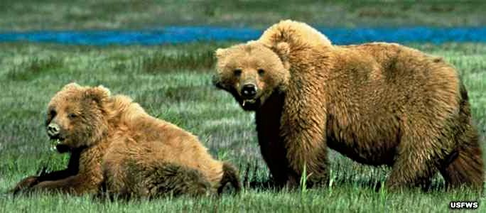 Grizzly bears in Winegar Hole Wilderness. Photo courtesy of US Fish and Wildlife service.